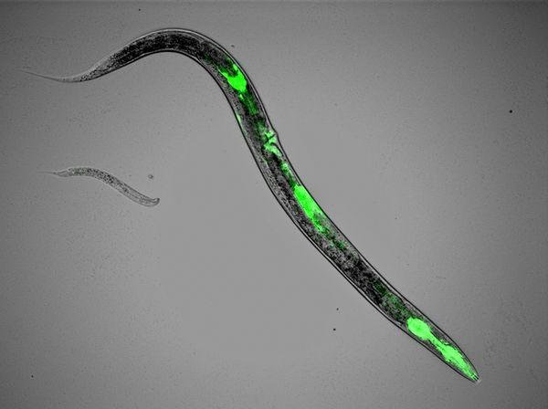 nematode-worm-glowing-animals_11836_600x450