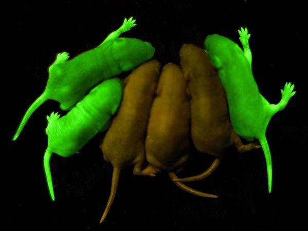 rats-mice-glowing-animals_11838_600x450